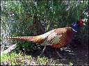 pheasants – Avira Search Free powered by Ask.com