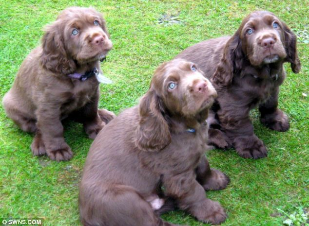 Sussex Spaniel    Grin, Bertie and Tollie all belong to Sheila Appleby, secretary of the Sussex Spaniel Association