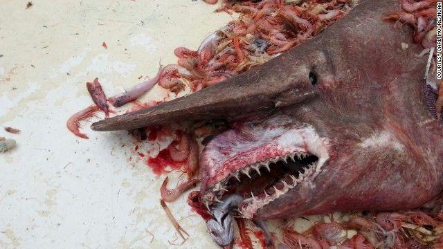 Tubarão-duende estranho!