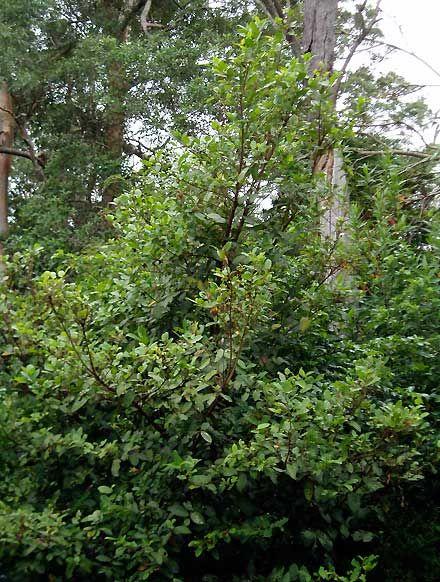 Ficus coronata - Sandpaper Fig