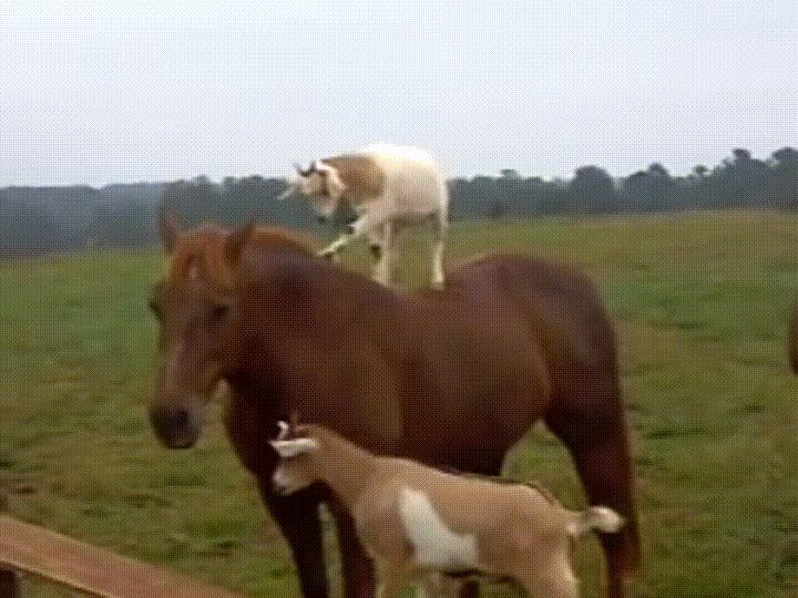 A little to the left please [x-post from /r/GoatsOnTopOfHorses] http://ift.tt/2ozN8F5