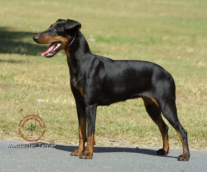 MANCHESTER TERRIER  This is where dobermanns got their markings from