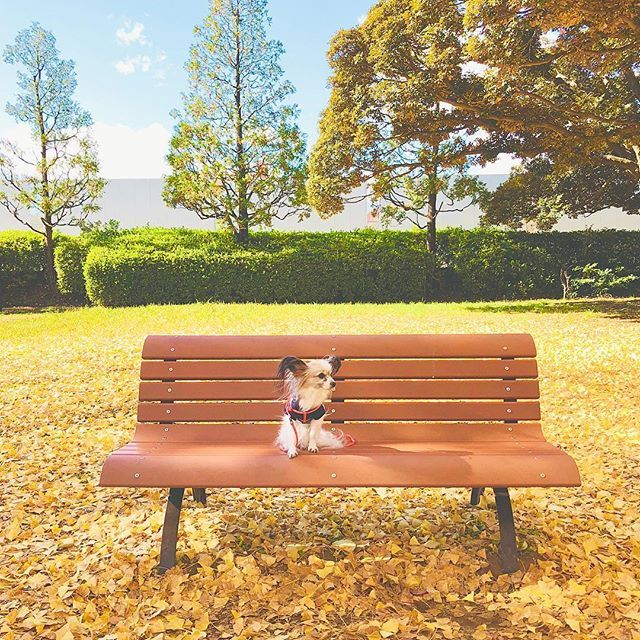 . beautiful autumn…🍁 . 気候が良いインディアンサマーな10月も大好きだけど、寒くなってきてニットを着始めたり紅葉真っ盛りのTHE 秋🍁な11月も好き😊💕 . . . #国営昭和記念公園#昭和記念公園#立川#立川市#東京#東京の秋#イチョウ#銀杏#秋#黄葉#四季#愛犬#パピヨン#犬との暮らし#お出かけ#犬とお出かけ#朝活#黄色の絨毯#イチョウの絨毯#黄色の世界#autumn#fall#beautifulautumn#niceday#lifewithdogs#papillon#dog#yellow#🐶#🍂