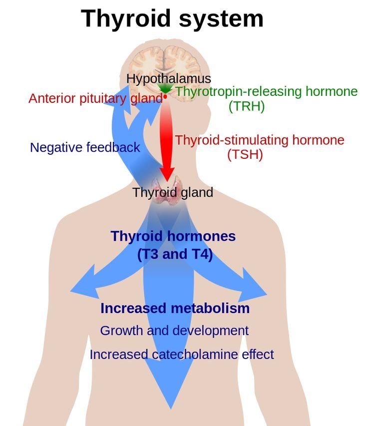 Thyroid system - Thyroid-stimulating hormone - Wikipedia, the free encyclopedia