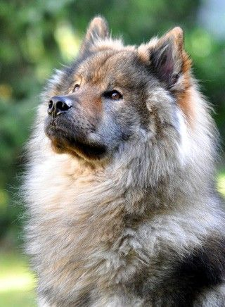 Eurasier, beautiful dog