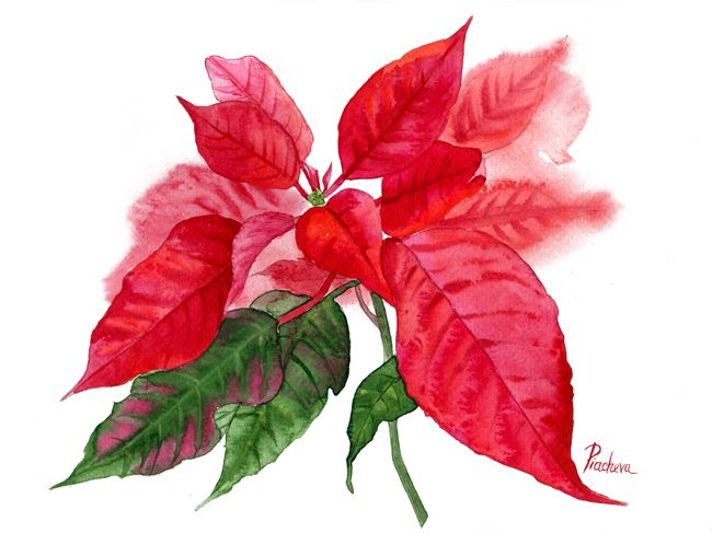 Poinsettia with Green Leaves