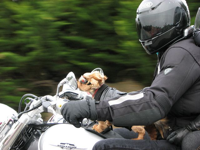 Dog On Motorcycle Photo
