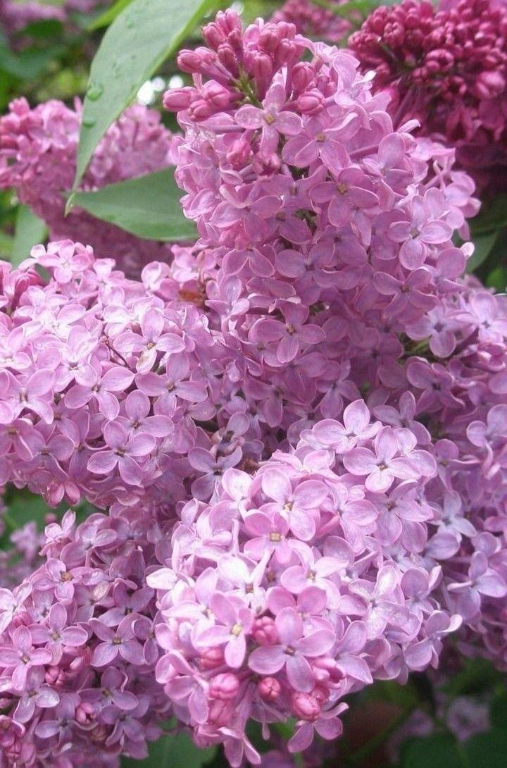 Pin Von Katherine Baron Auf Lilac Cottage Lila Bluten Blumen Pflanzen Schone Blumen
