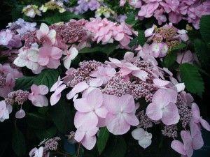 Lovely, lovely Endless Summer Hydrangea.
