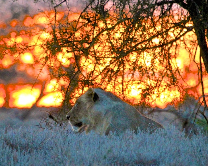 Lioness at sunset taken during EGGS 2012 in LUMO Conservancy, near Tsavo West, Kenya.