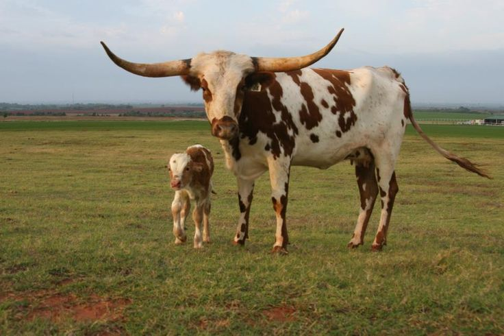 Texas Longhorn cow and calf.