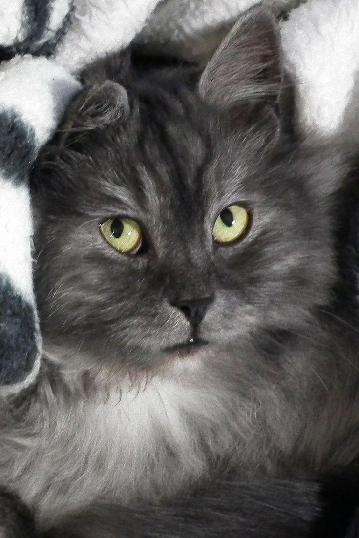 A Cute Cat In The Blanket Cute Cat Cuteanimals Theworldisgreat Cats Fancy Cats Beautiful Cats