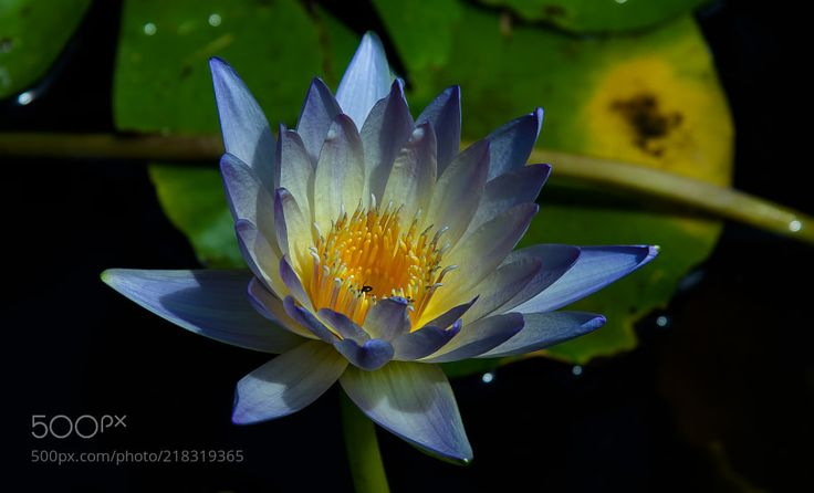 WATER LILY!! - SHOT IN GEORGETOWN AUSTIN TEXAS