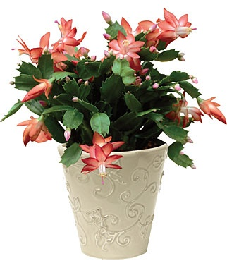 christmas tree cactus garden - photo #32