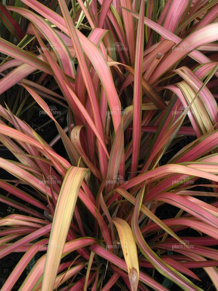 45 best images about new zealand flax phormium on pinterest pink flamingos sun and shade plants. Black Bedroom Furniture Sets. Home Design Ideas