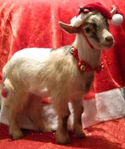 pygmy goats for sale | Carmel Baby Pygmy Goat - with full belly band - (pataskala) for Sale ...