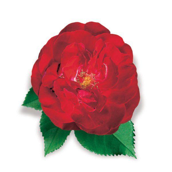 Róża rabatowa czerwona - Rosa polyantha 'Europeana'