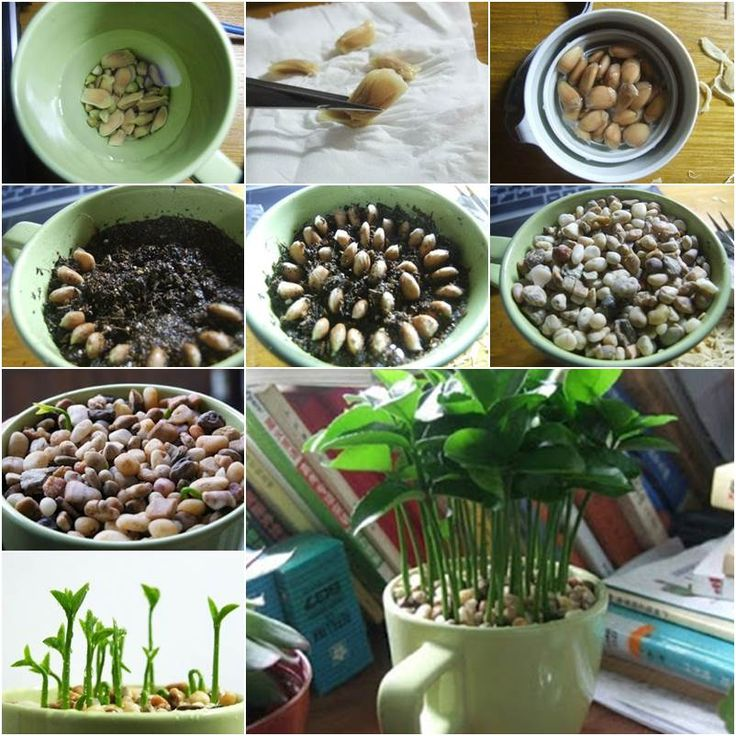 How to Grow a Lemon Tree from Seed in a Pot Indoors #diy #gardening