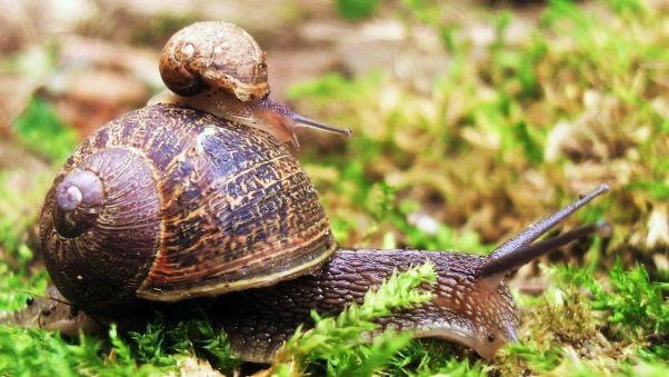 Wallpaper snail, couple, grass, crawl