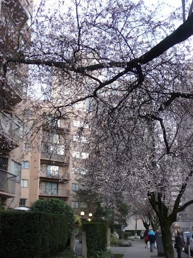 Springtime and Cherry blossoms!