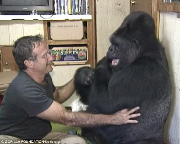 Mutually beneficial: Williams made Koko laugh and smile for the first time since her longtime companion, a gorilla named Michael, had died six months earlier