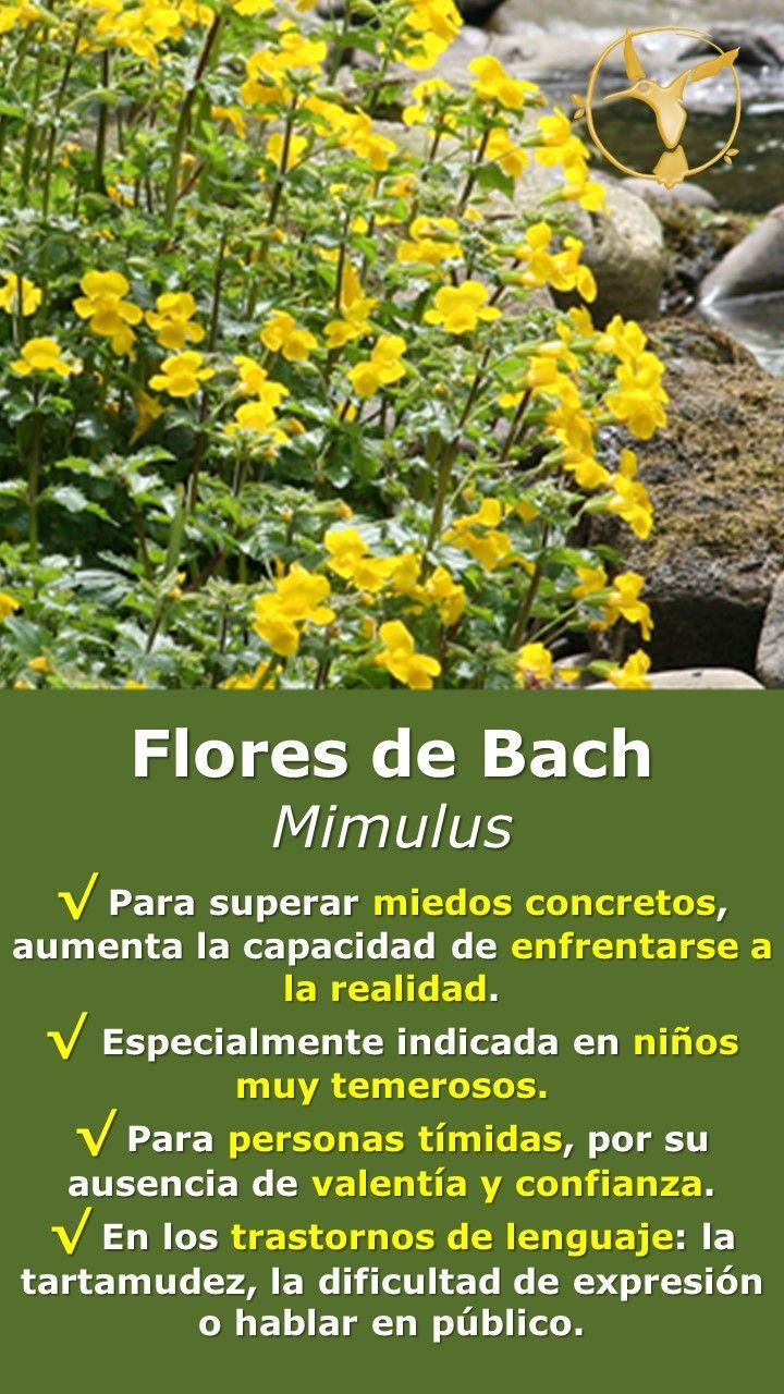 #flores #de #bach #mimulus #mimulo #beneficios #miedo #ansiedad #español #para #niños #remedies #remedios #salud #terapia #timidez #temor #temores #terapias #alternativas #healing #herbs