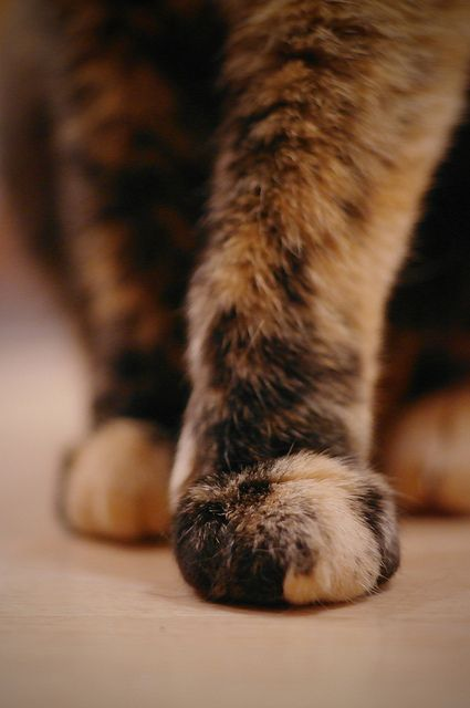 "Put the Best Paw Forward. My daughter said our tortie Rio's paw looked like the color  butterscotch. Thereafter referred to as ,""her butterscotch paw"".."