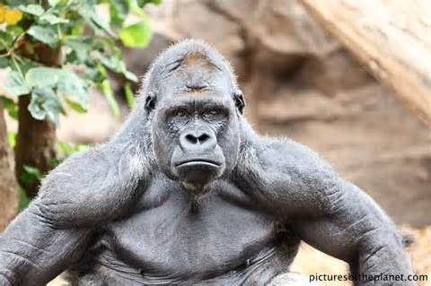 Silverback Gorilla Strength - in Bwindi Impenetrable national park, Uganda See more at www.ugandamountaingorillatours.com