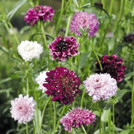 Scabious Seeds - Pin Cushion Mix. Sow March - May