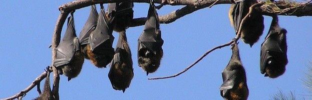 Bat Habitat Bat Habitat Bat Facts Fruit Bat