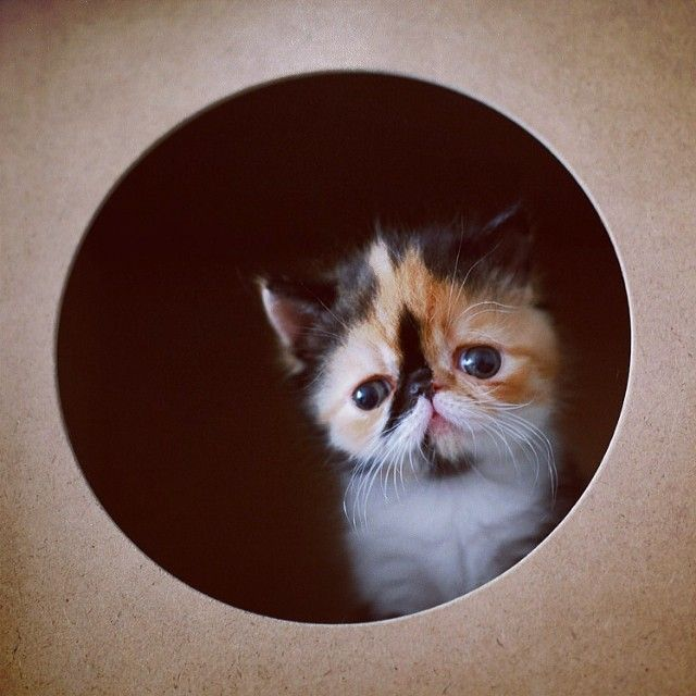 17 Best images about Exotic shorthair on Pinterest | Cats ...