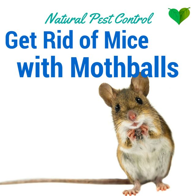 moth ball technique remove mice from your home susie beena jul 8 2015 household no. Black Bedroom Furniture Sets. Home Design Ideas