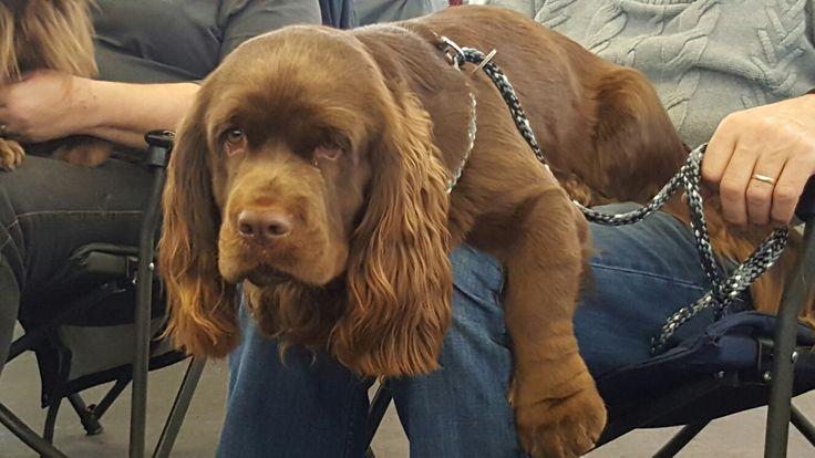 Sussex Spaniel Pup ~ Classic Look