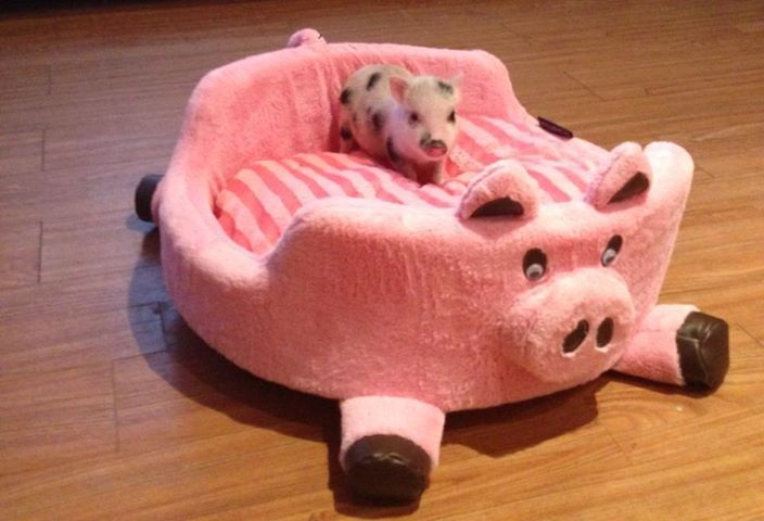 I need this for my little piggy...Dexter!