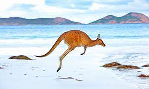 Red kangaroos (Macropus rufus), Western Australia.