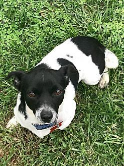 Potomac, MD - Chihuahua/Terrier (Unknown Type, Medium) Mix. Meet Apple, a dog for adoption. http://www.adoptapet.com/pet/19396852-potomac-maryland-chihuahua-mix