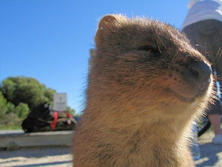 The quokka is a marsupial that lives in Western Australia. Its uniqueness? It radiates happiness!