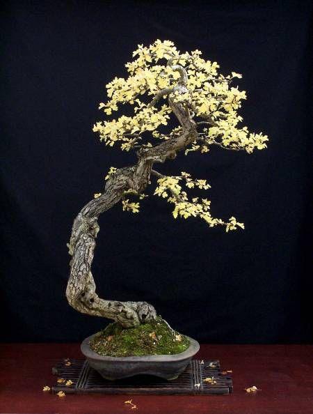 1000 images about literati bonsai on pinterest pine for Literati bonsai gallery