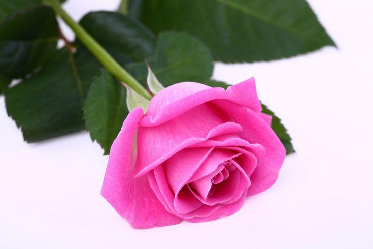 Pink Beauty Flower Single Rose: Best 25+ Single Rose Ideas On Pinterest