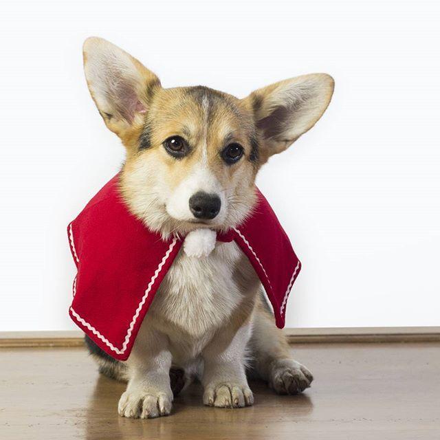 красивая красная накидка или плащ для собак на липучке. в такой красной мантии собака выглядит как кардинал))