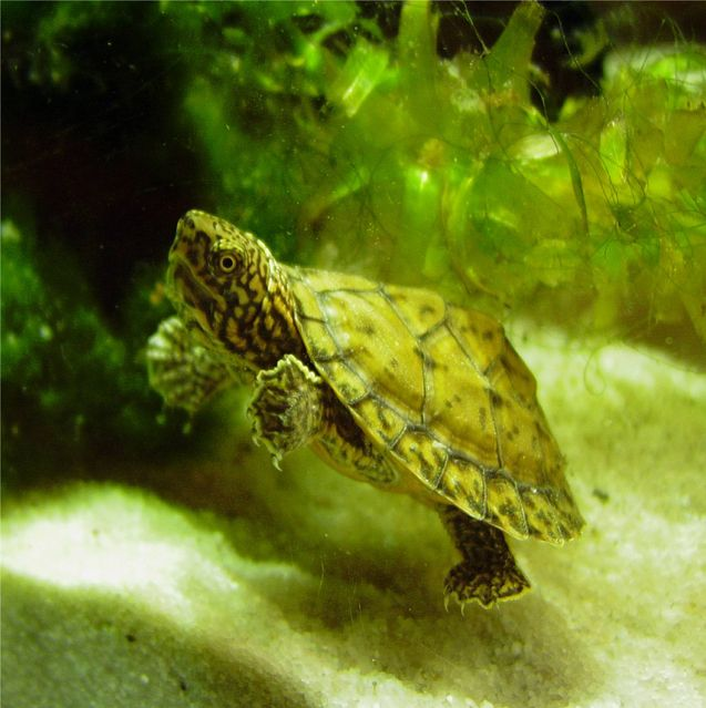 Once Loggerhead Musk Turtles become comfortable, they will be quite responsive and outgoing rather than shy.