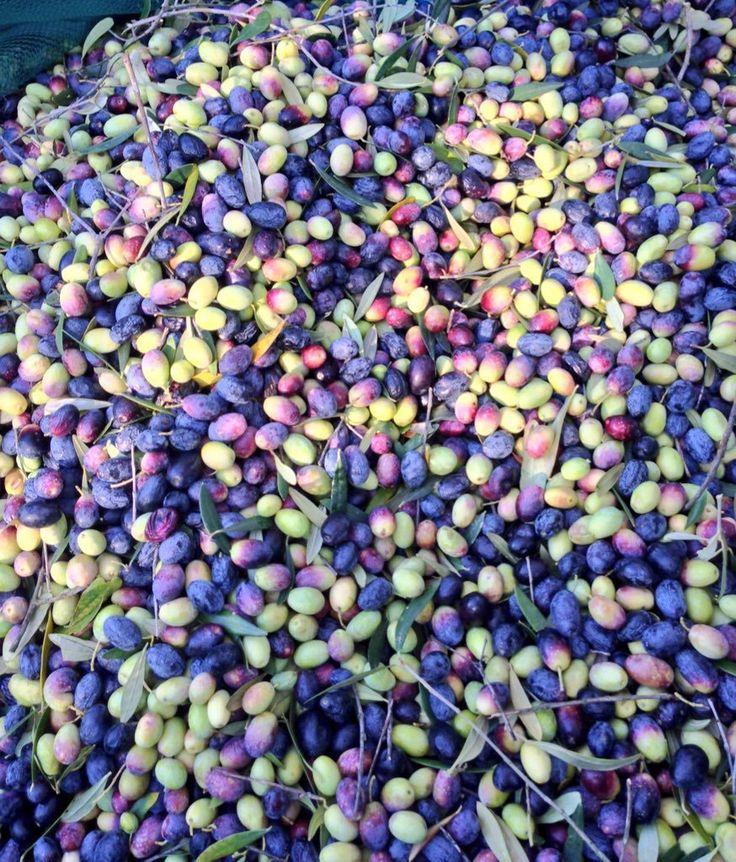 #Olive #Doc a # Montelibretti