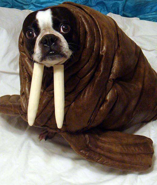 echo the walrus boston terrier pet halloween costumespet - Halloween Costumes In Boston