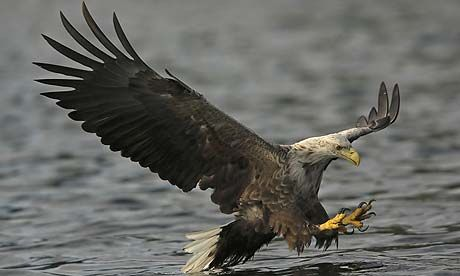 Highland Eagle swooping