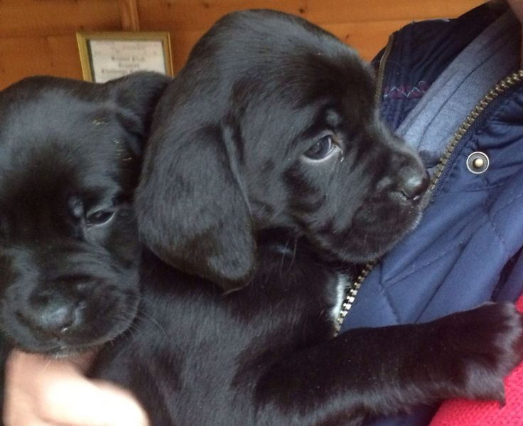 Lovely Boxador Puppies Ready Now