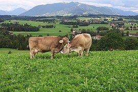 Vacas, Prado, Montanhas, Pastagem, Gado