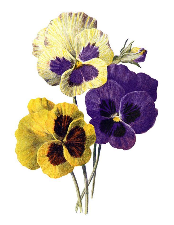 Картинки анютины глазки цветы нарисованные, новым