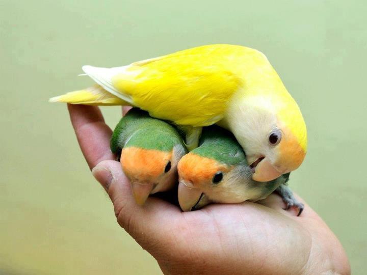 Parrotlets http://www.vetfield.com                              …                                                                                                                                                                                 Mais