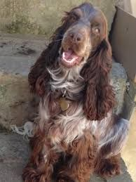 Resultado de imagen para chocolate english cocker spaniel