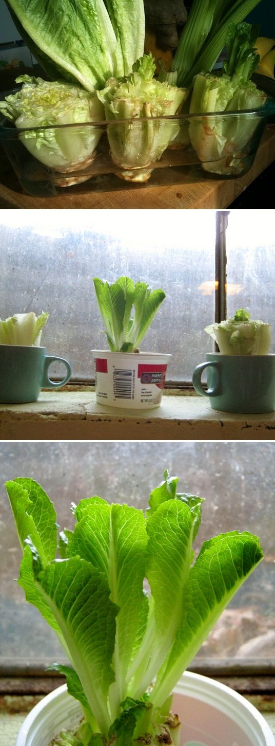 Re-grow Romaine Lettuce Hearts - just cut, place in water, and watch them grow back in days...  It really does work!!